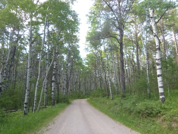 Birch Forest near Campsite