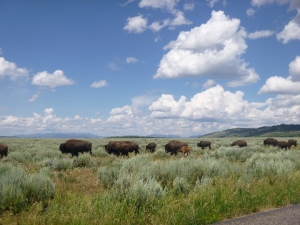 Grand Teton National Park, Part 2: Buffalo, Kamikaze Deer, and a Mountain Climb.  And an Introduction to Yellowstone.