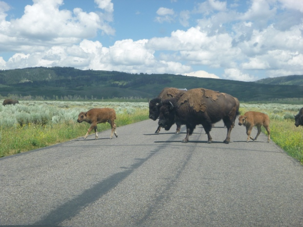 Buffalo at Grand Teton Nation Park, WY