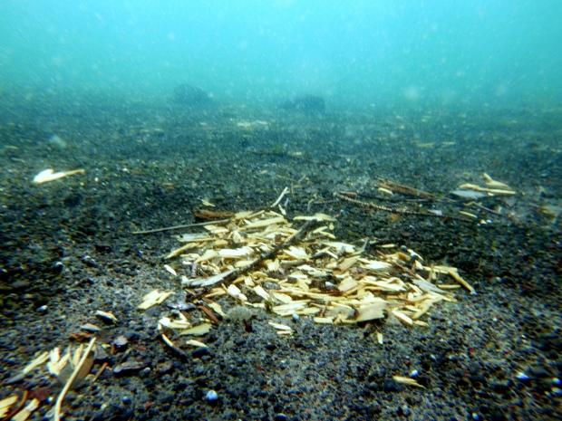 Underwater leaves on black sand, Detroit Lake, Oregon