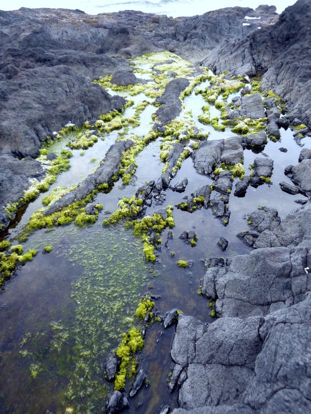 Bright green sea plants on black basalt, Pacific Coast, Oregon