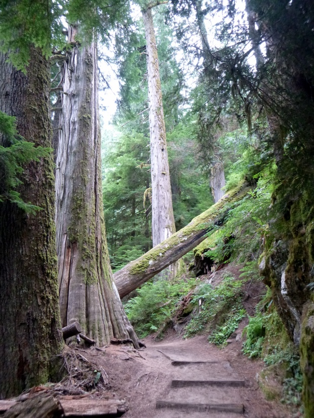 Trail of Grove of the Patriarchs which has some of the oldest and largest Red Cedar trees In the Cascade Mountain Range, Mount Rainier National Park, WA