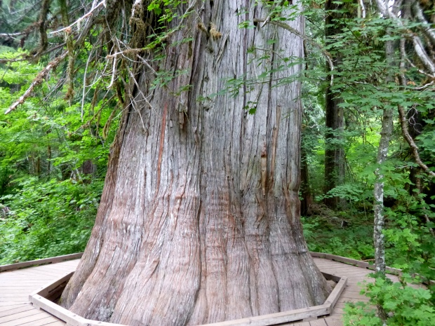 The oldest and largest Red Cedar on the trail; look at the boardwalk surrounding it to get a sense of the scale. Grove of the Patriarchs, Mount Rainier National Park, WA