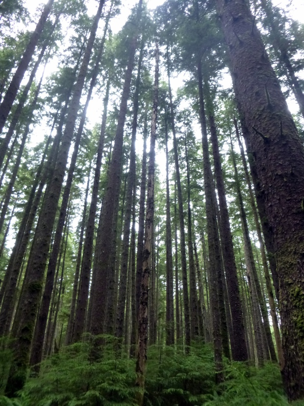 Tall trees in Olympic National Park