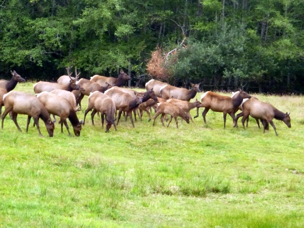 Elk herd grazing, Olympic National Park