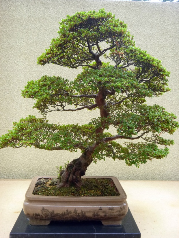 Bonsai in the Pacific Rim Bonsai Collection, Federal Way, WA