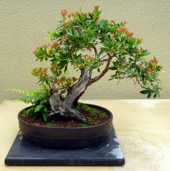 Flowering bonsai in the Pacific Rim Bonsai Collection, Federal Way, WA