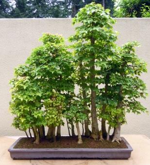 Bonsai grove in the Pacific Rim Bonsai Collection, Federal Way, WA