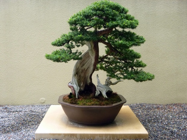 Korean yew bonsai cultivated since 1986 but the tree is from ca. 1600, Pacific Rim Bonsai Collection, Federal Way, WA
