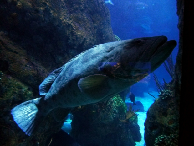 Giant Grouper, Downtown Aquarium, Denver, Colorado