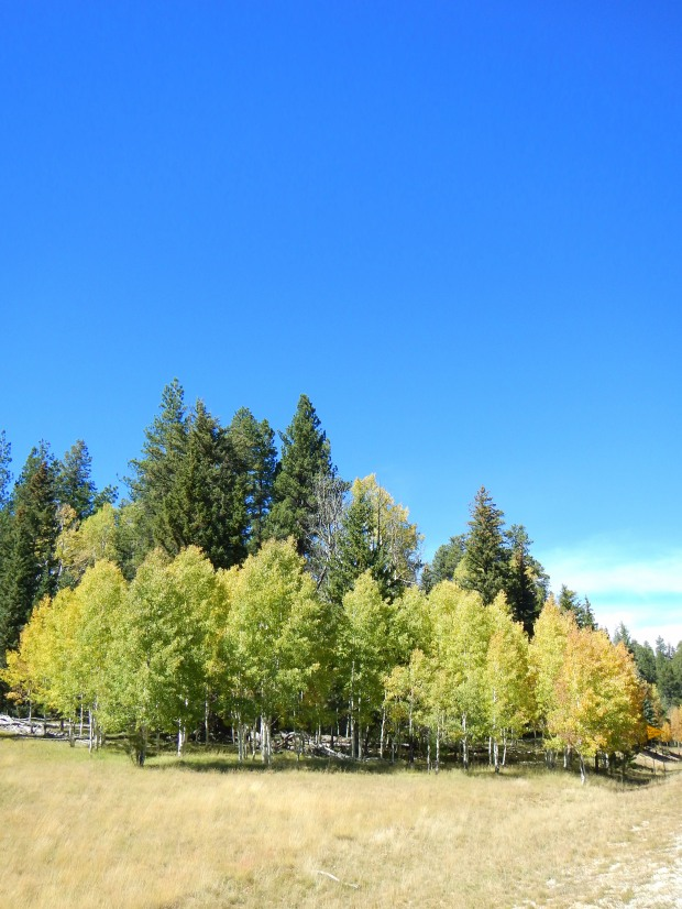 Aspen in the meadow, Kaibab National Forest, Arizona