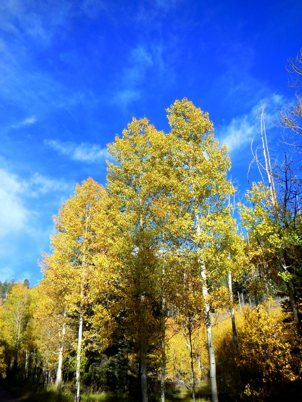 Aspen by the road, Kaibab National Forest, Arizona