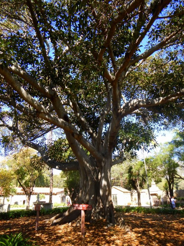 Morton Bay Fig Tree from Australia planted in 1890, Mission Santa Barbara, California