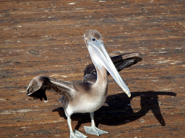 Pelican on Imperial Pier, Imperial Beach, California