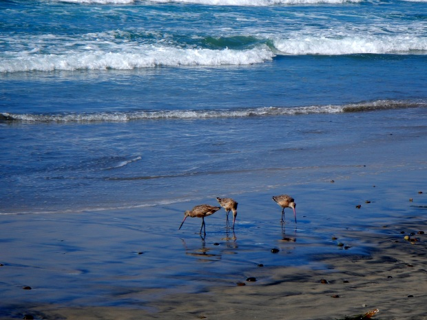 Oyster Catchers on the beach at Torrey Pines State Park, San Diego, California