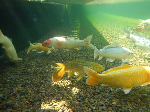 Underwater shot of koi fish in Reflecting Pool at Balboa Park, San Diego, California