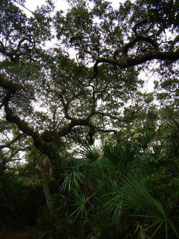 Gnarly tree, Eldora Hammock Trail, Canaveral National Seashore, Florida
