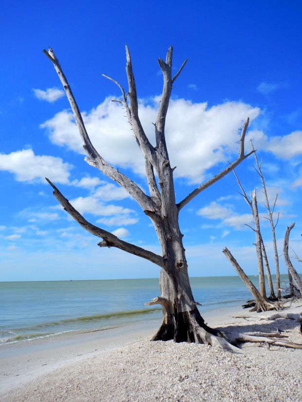 Dead tree, Lovers Key State Park, Florida
