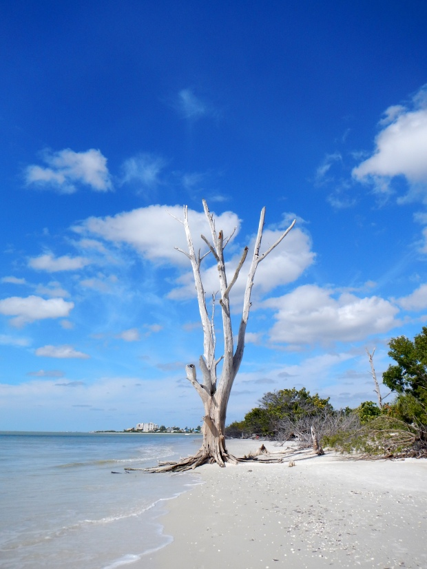 Another dead tree, Lovers Key State Park, Florida