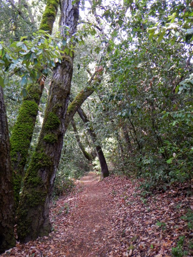 Redwood Trail, Mount Madonna County Park, California