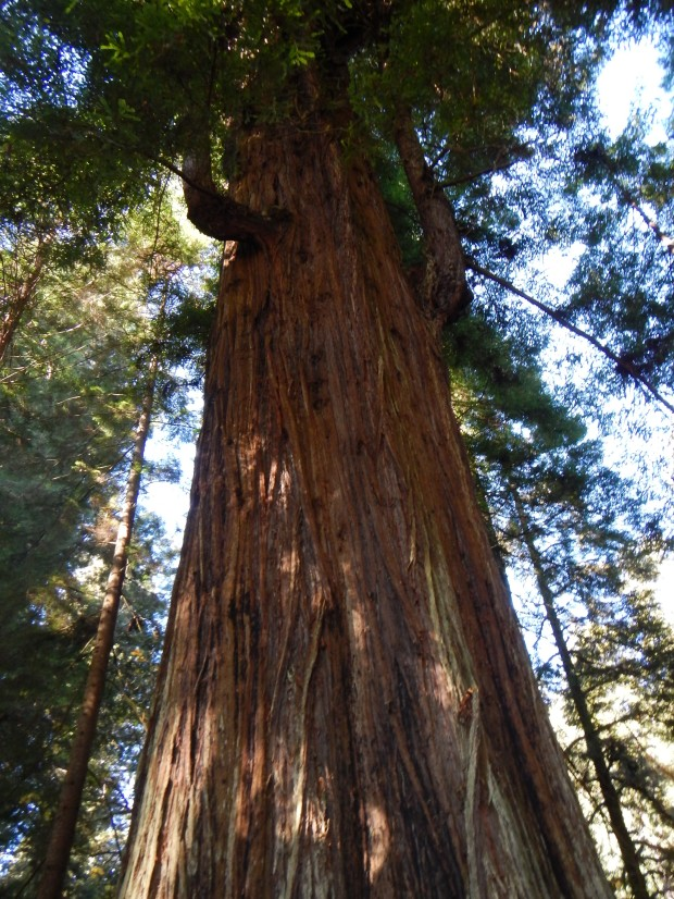 Massive redwood along Revelation Trail, Prairie Creek State Park, California