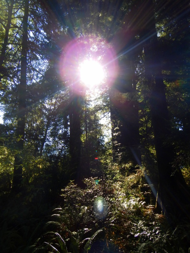 Sunlight streaming through redwoods, Revelation Trail, Prairie Creek State Park, California