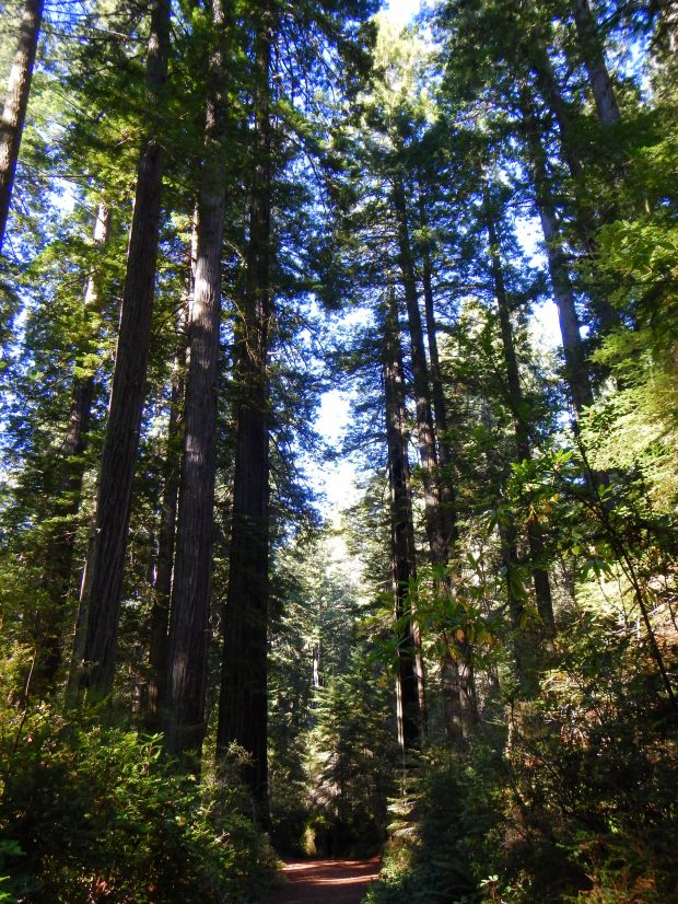 Trail through Lady Bird Grove, Redwoods National Park, California