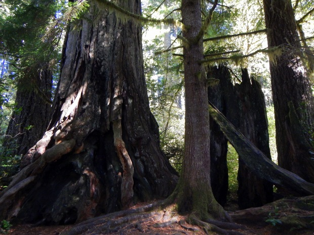 Massive tree trunk along trail in Lady Bird Johnson Grove, Redwoods National Park, California