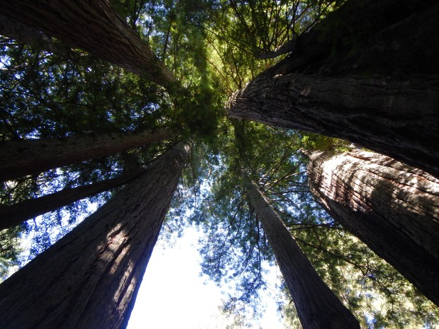 Looking up in Lady Bird Johnson Grove, Redwoods National Park, California