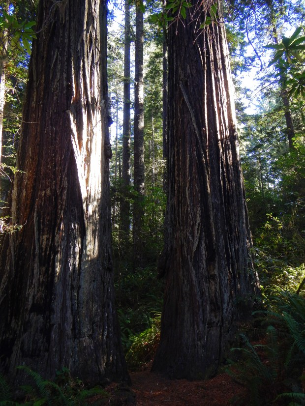 Massive trees in Lady Bird Johnson Grove, Redwoods National Park, California