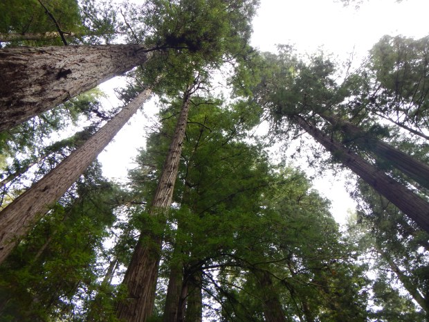 Looking up in Stout Memorial Grove, Jedediah Smith Redwoods State Park, California
