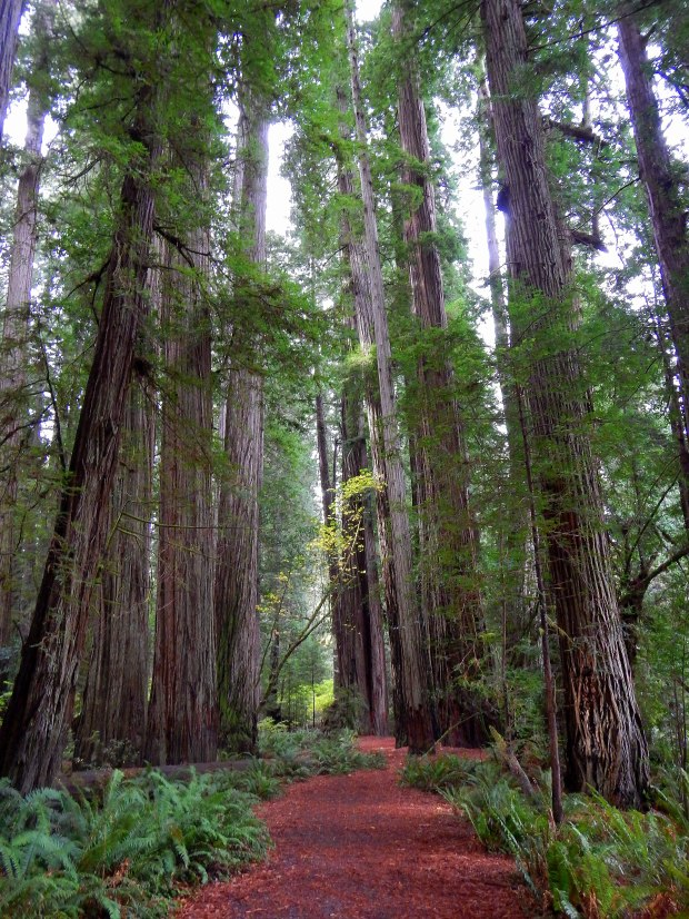 Trail in Stout Memorial Grove, Jedediah Smith Redwoods State Park, California
