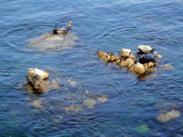 Seals in Monterey Bay, California