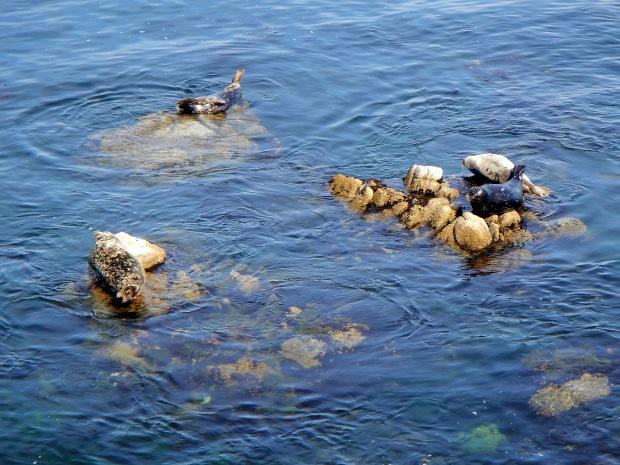 Seals in Monterey Bay, California