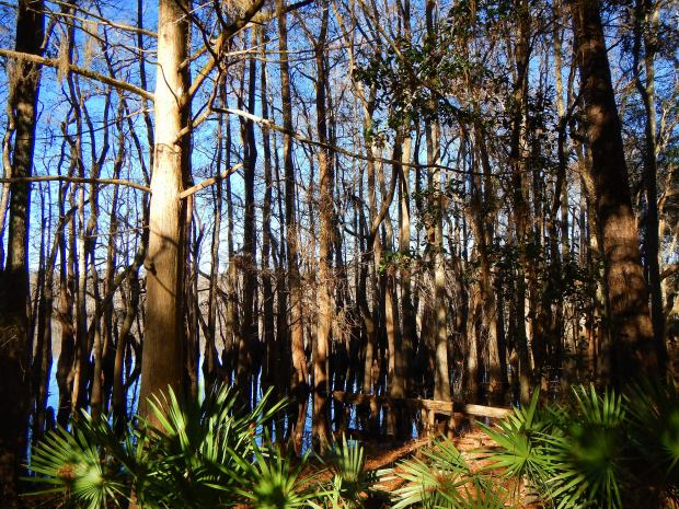 Basin swamp, Wright Lake Trail, Apalachiola National Forest, Florida