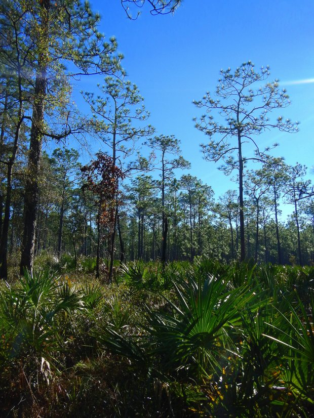 Pine forest with fern ground cover, Wright Lake Trail, Apalachiola National Forest, Florida
