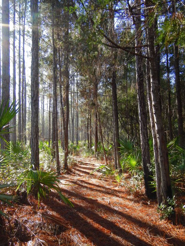 Walking through the pines with the sun shining, Wright Lake Trail, Apalachiola National Forest, Florida