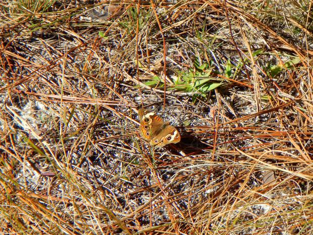 Butterfly! Wright Lake Trail, Apalachiola National Forest, Florida