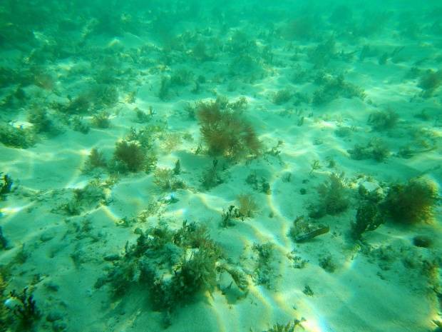 Plants underwater at Fort Zachary Taylor State Park, Key West, Florida