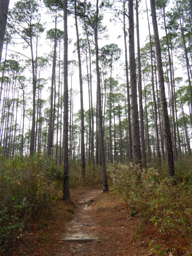Replanted pines along Terrace Trail, Falling Waters State Park, Florida