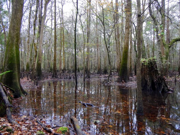 Chipola River floodplain, Florida Caverns State Park, Florida