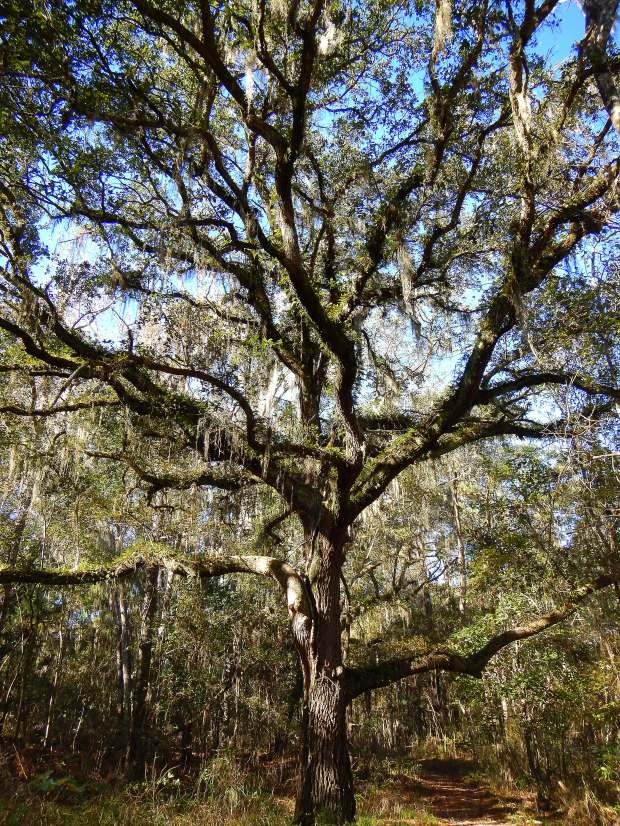 Gnarled tree with Spanish Moss along trail, Lake Jackson Archaeological State Park, Tallahassee