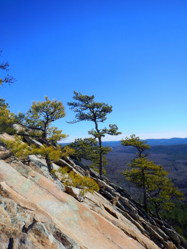 Pines growing on the side of Pinnacle Mountain, Pinnacle Mountain State Park, Arkansas