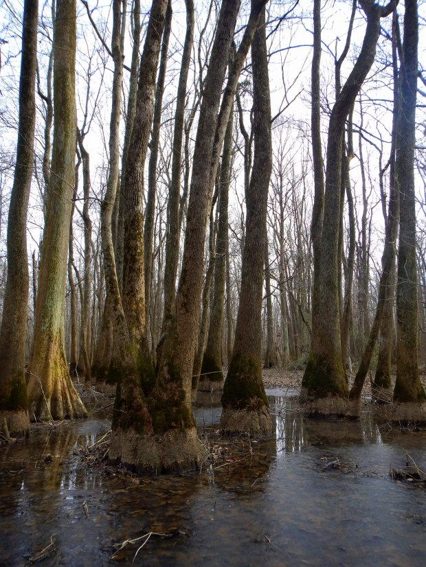 Cypress grove swamp, Cypress Grove Nature Park, Jackson, Tennessee