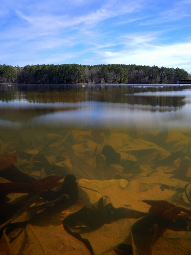 Dead leaves under the water, Pin Oak Lake, Natchez Trace State Park, Tennessee