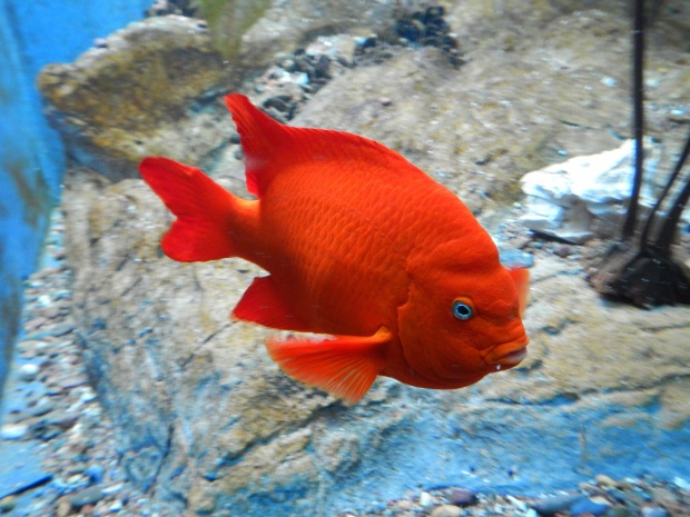 Cute little orange guy, Shedd Aquarium, Chicago, Illinois