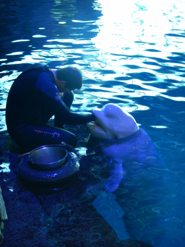 Beluga getting his tongue patted after the marine mammal show, Shedd Aquarium, Chicago, Illinois