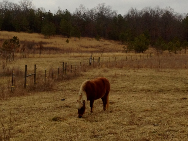 Mini horse grazing, Solace Farm, Coalmont, Tennessee
