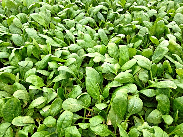 Beautiful spinach growing in the hoop house, Solace Farm, Coalmont, Tennessee