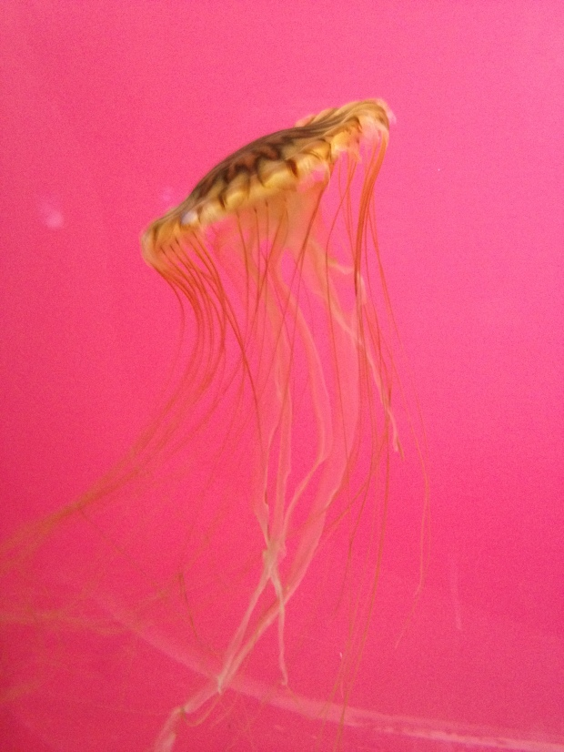 Jellyfish, Shedd Aquarium, Chicago, Illinois